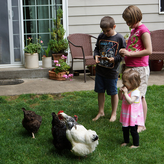 feedin chickens 2