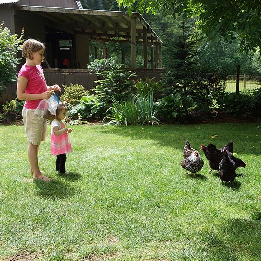 feedin chickens