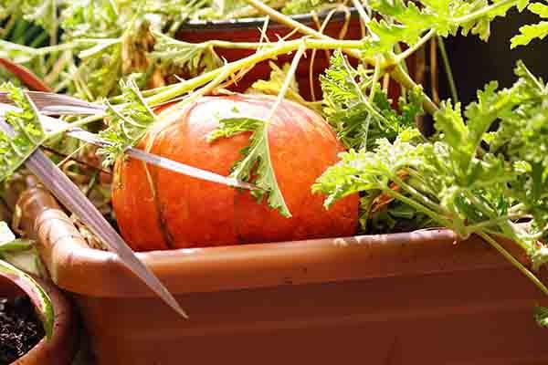 scented geranium 'Citronella Plant'